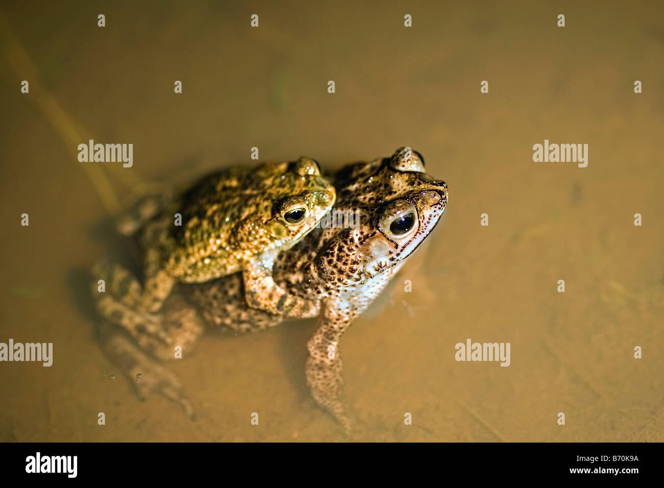 Suriname, Brownsweg, Brownsberg National Park. Pair of toads mating. - Stock Image