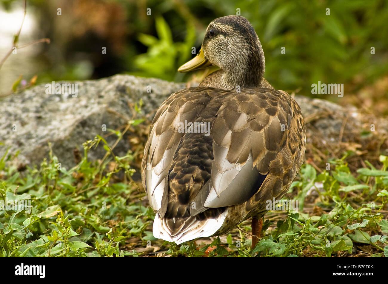 Mallard Duck at Gairloch Gardens - Stock Image