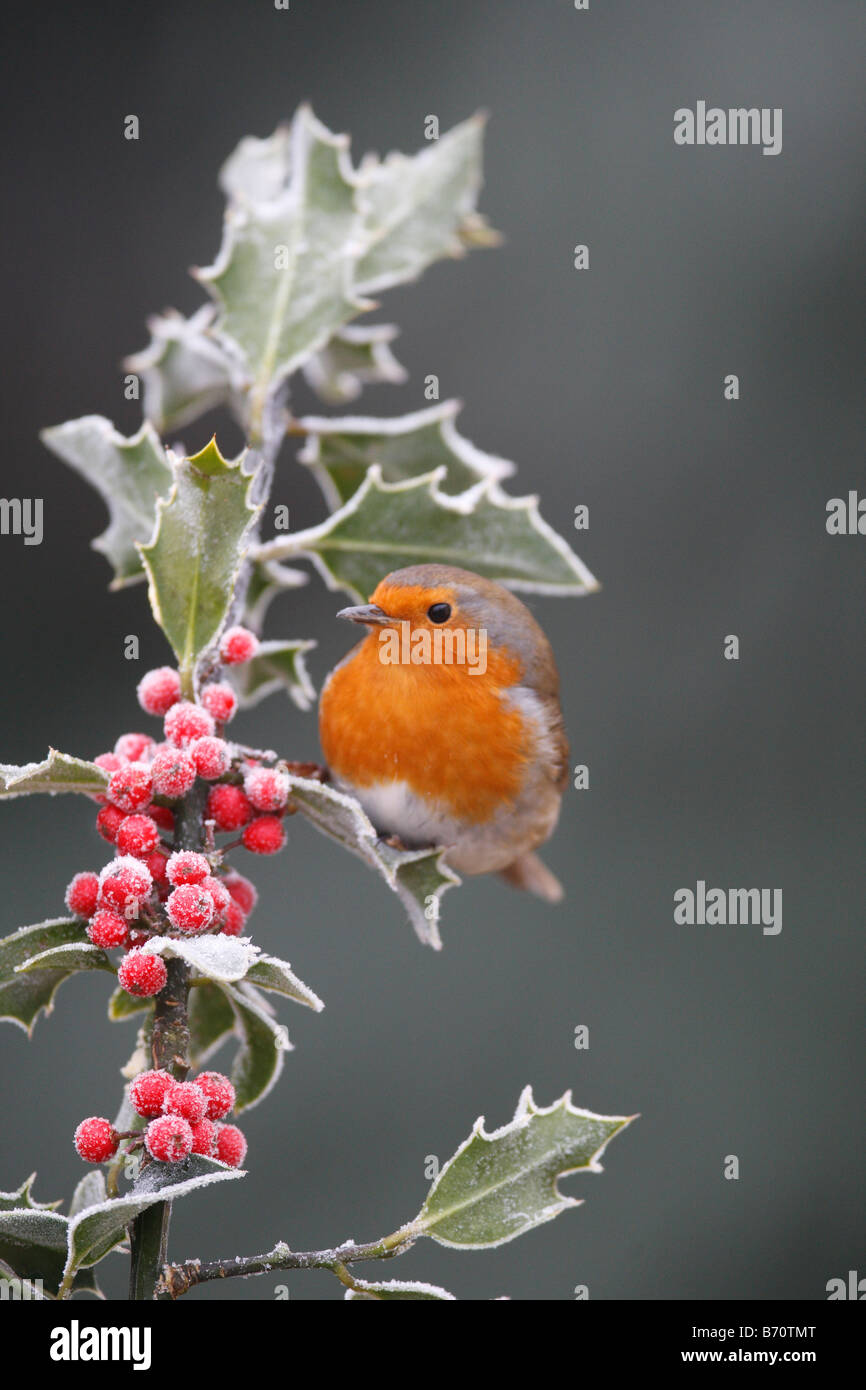 ROBIN Erithacus rubecula PERCHING AMONGST FROSTED HOLLY BERRIES - Stock Image
