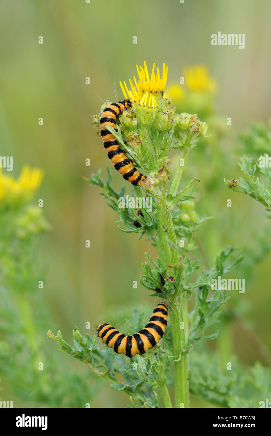 Cinnabar caterpillars on ragwort - Stock Image