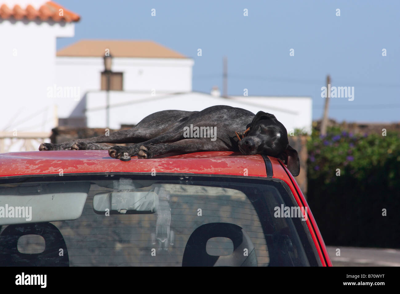 Large  dog sleeping on car roof on a hot day - Stock Image