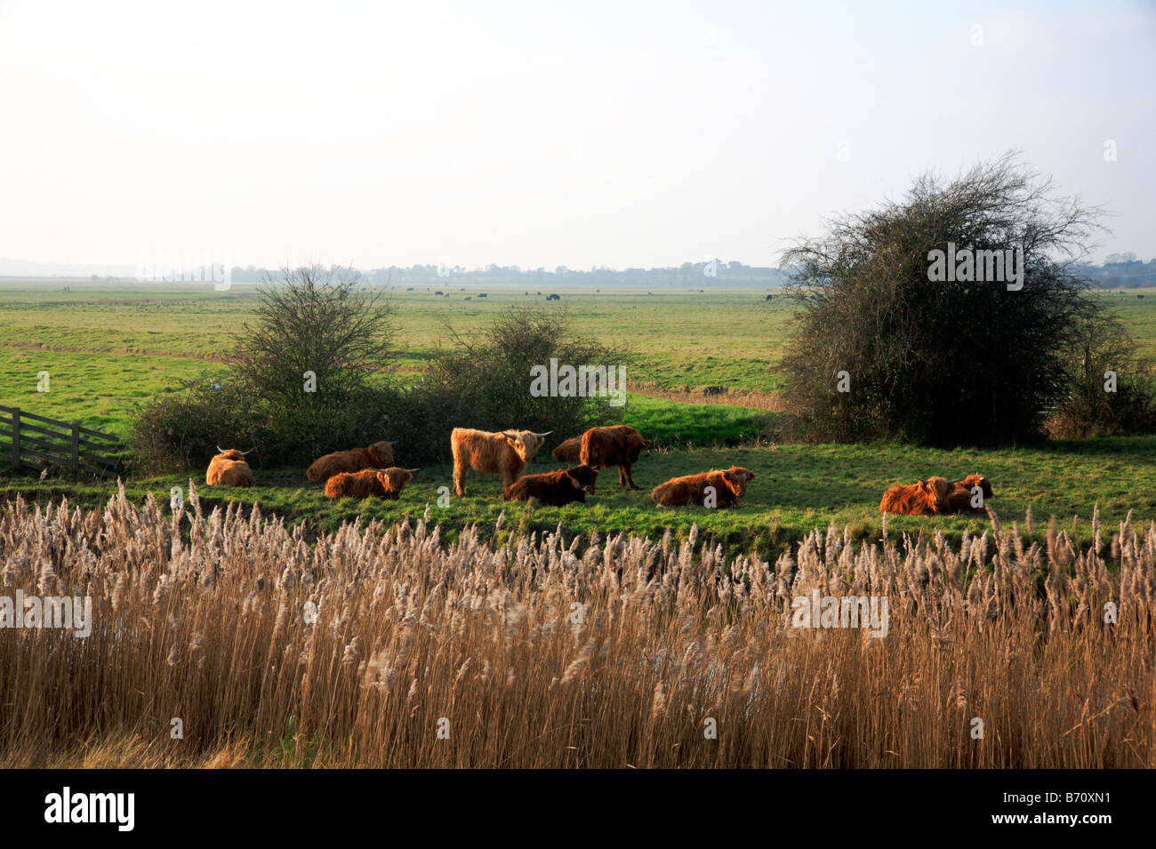 Highland cattle resting in a corner of Reedham Marshes on the Norfolk Broads, Uk. - Stock Image