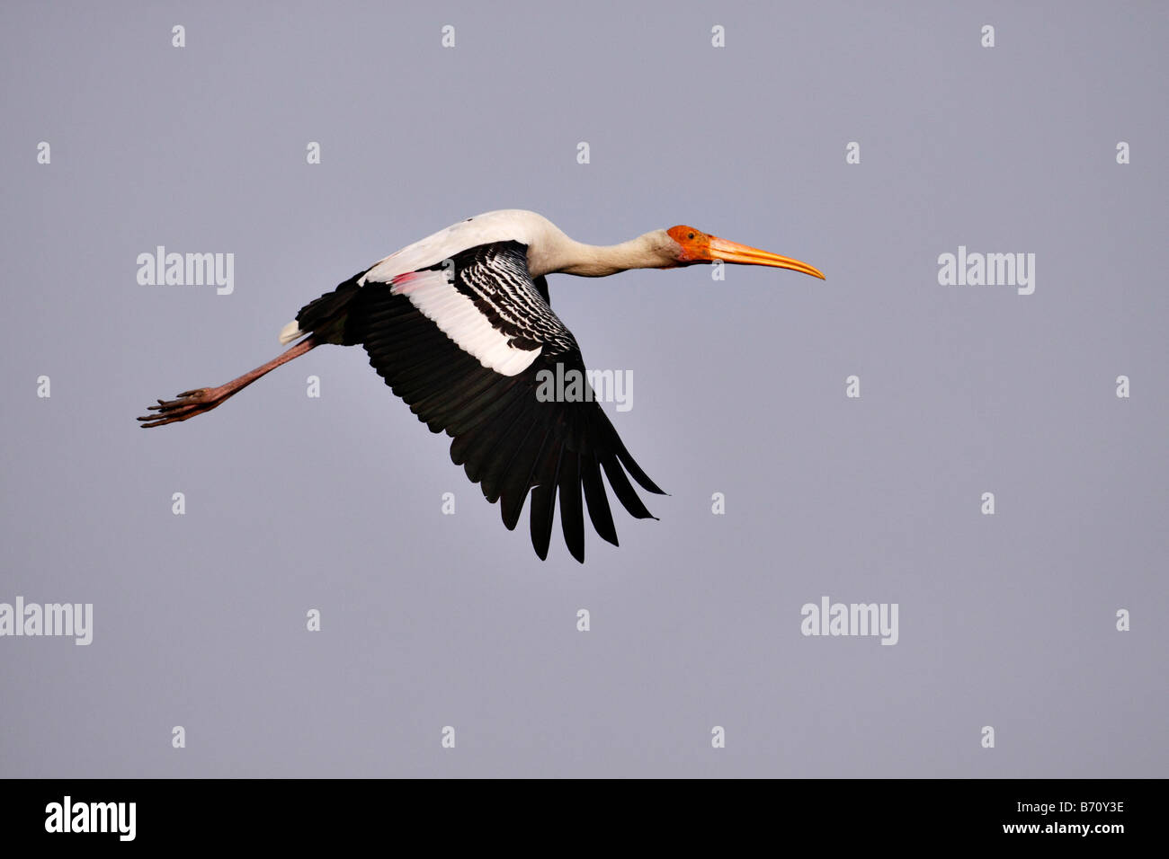 Painted Stork Mycteria leucocephala in flight in the heronry at Bharatpur bird snactuary - Stock Image