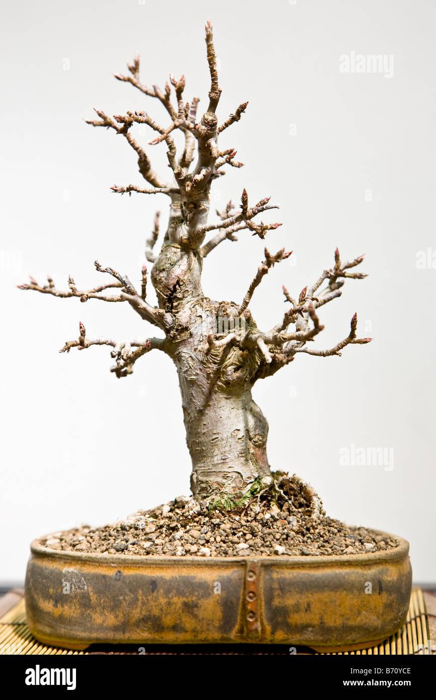 Bonsai tree - Stock Image