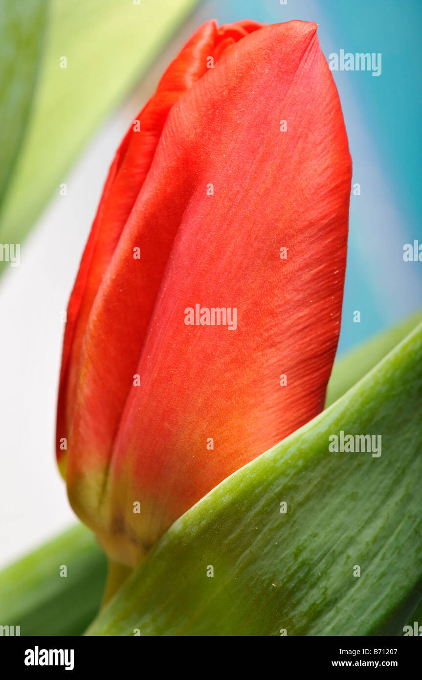 tulip red flower close up petals unopened garden plant flower horticulture green leaves - Stock Image