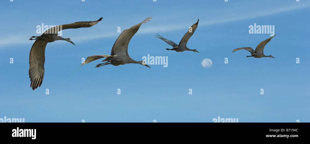 Flock of Sandhill Cranes in flight against blue sky with moon - Stock Image