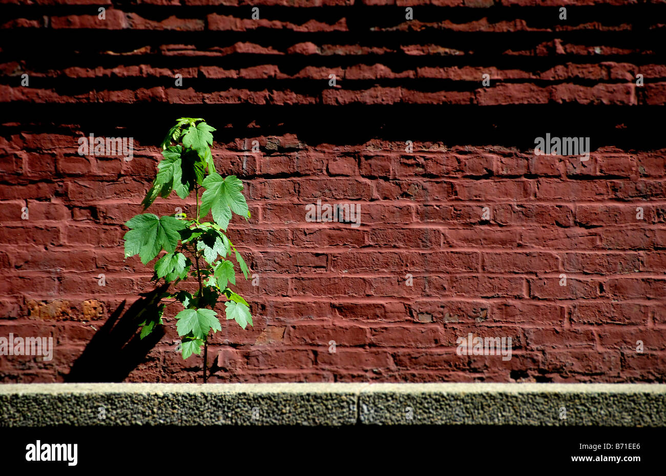 A young green maple sapling thrives in a sunny alley in Boston Massacusetts - Stock Image