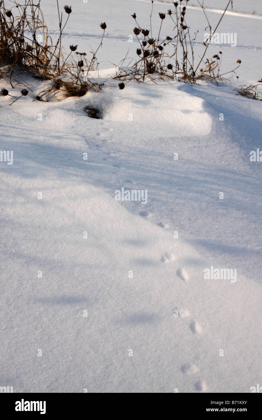 Animal tracks in snow - Stock Image