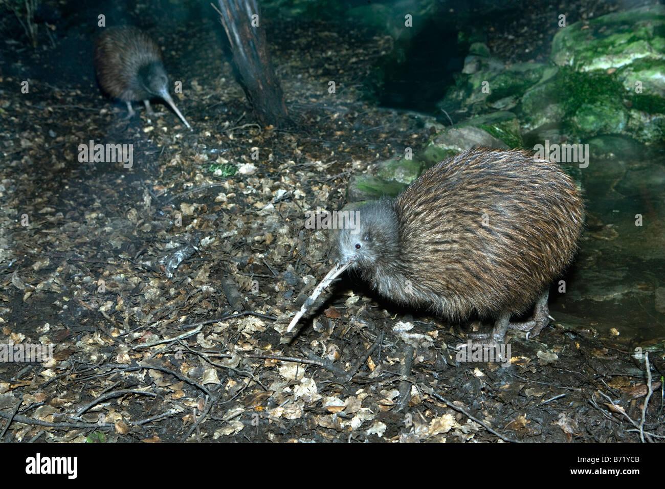 New Zealand, South Island, Queenstown, Kiwi, Apteryx australis. - Stock Image