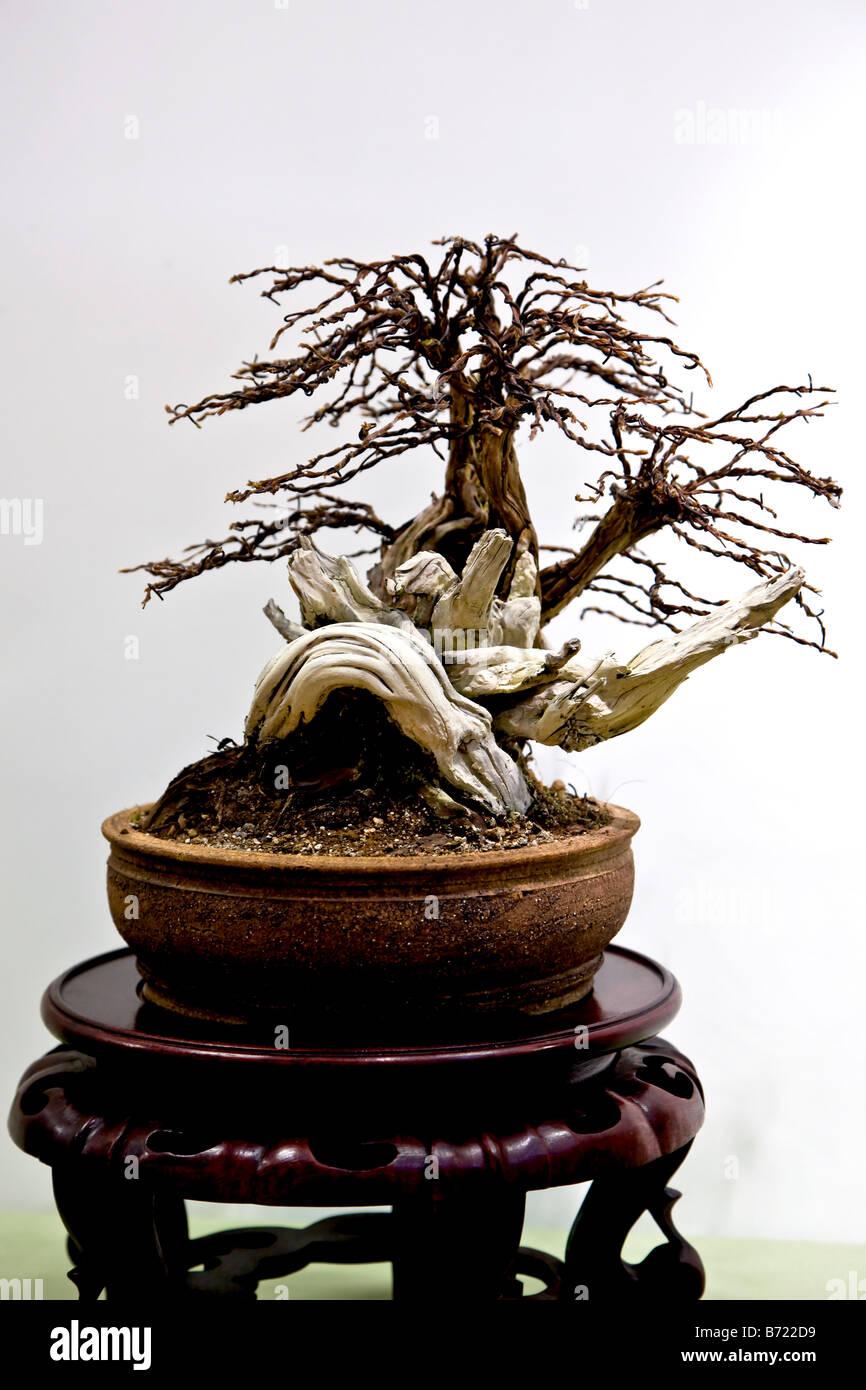 Potentilla bonsai tree - Stock Image