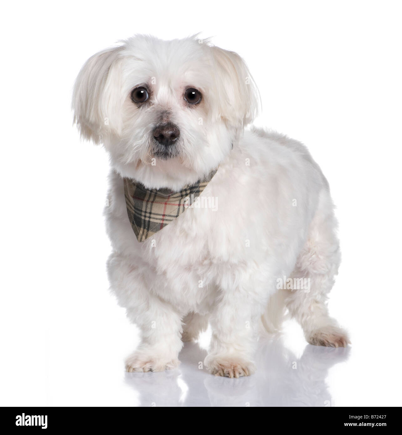 maltese dog 13 years in front of A white background - Stock Image
