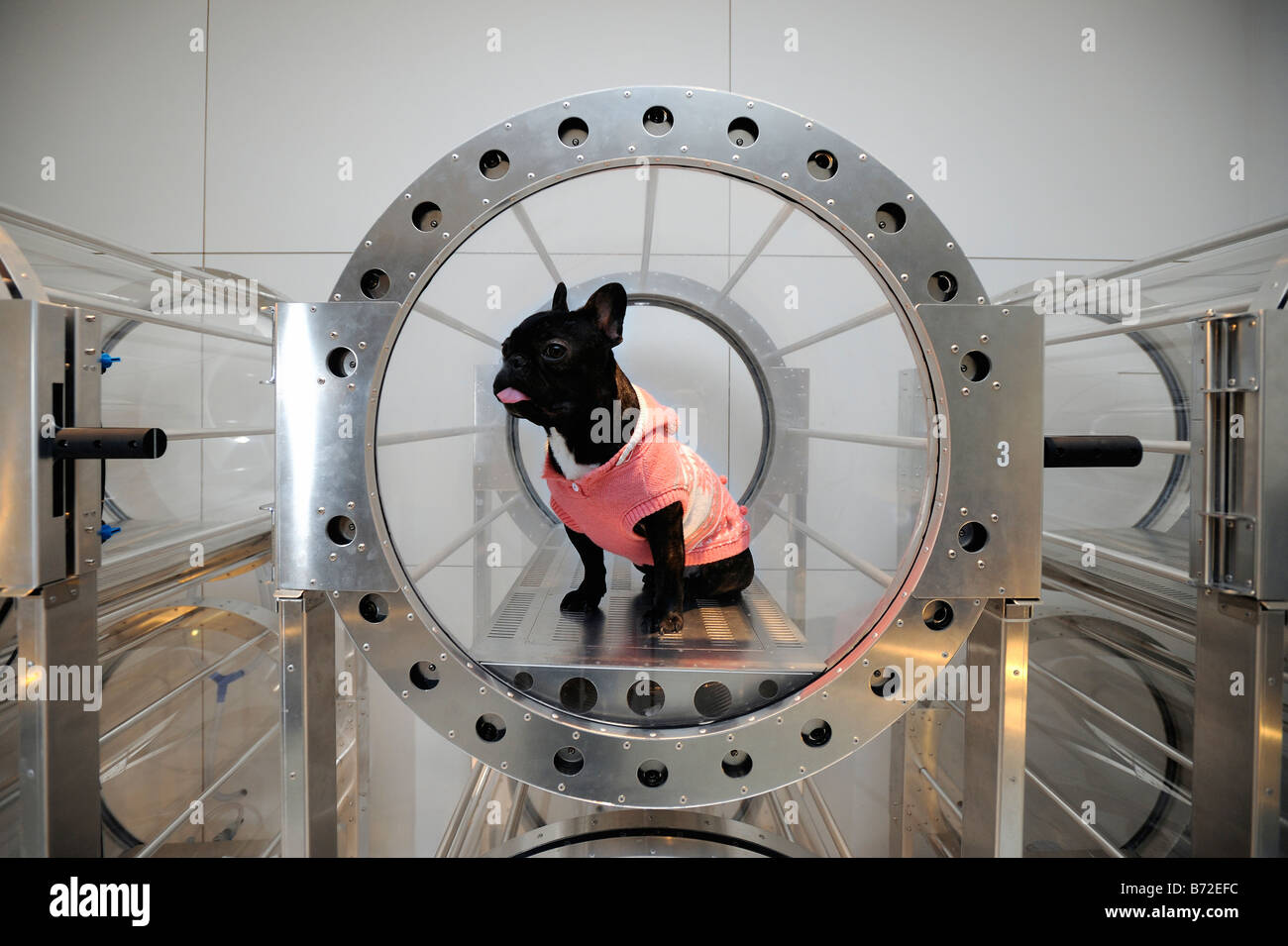A French bulldog sits in an oxygen capsule specially designed for pets in Tokyo. The capsules are made by an airplane - Stock Image