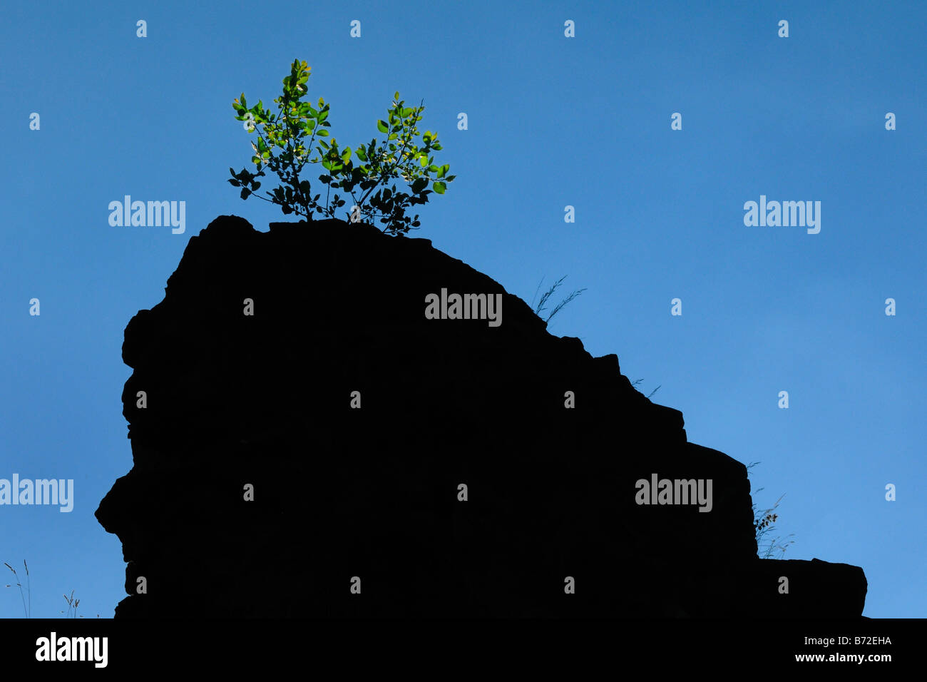 Grüner Zweig auf éinem Felsen green branch on a rock - Stock Image