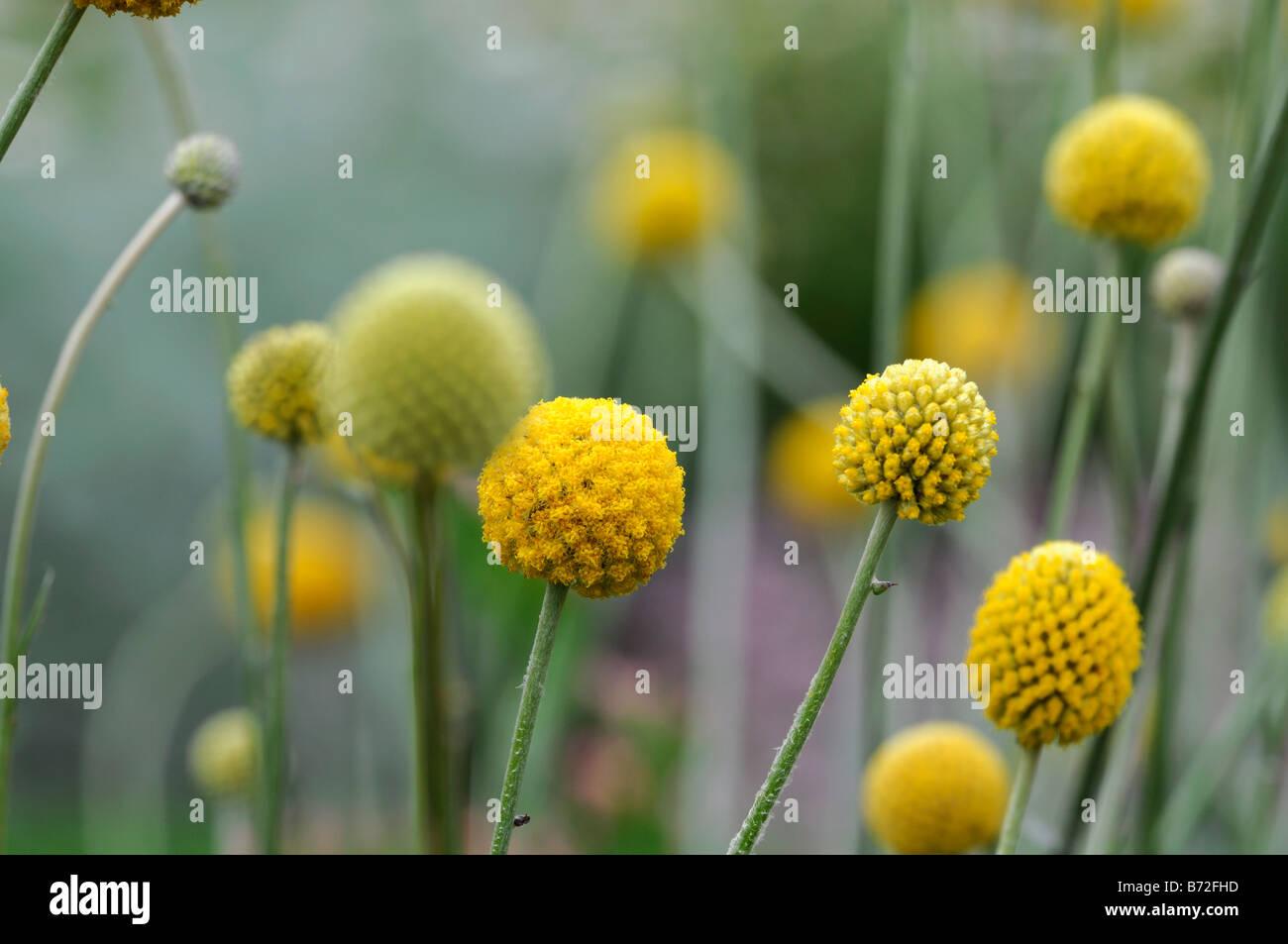 Yellow Ball Flower Stock Photos Yellow Ball Flower Stock Images