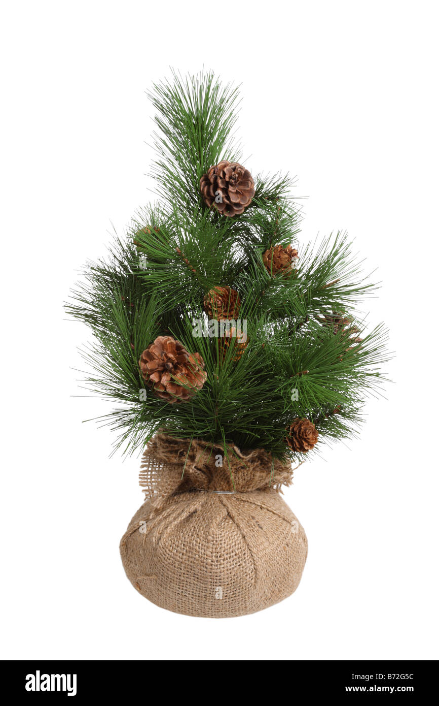 Small pine tree cut out isolated on white background - Stock Image