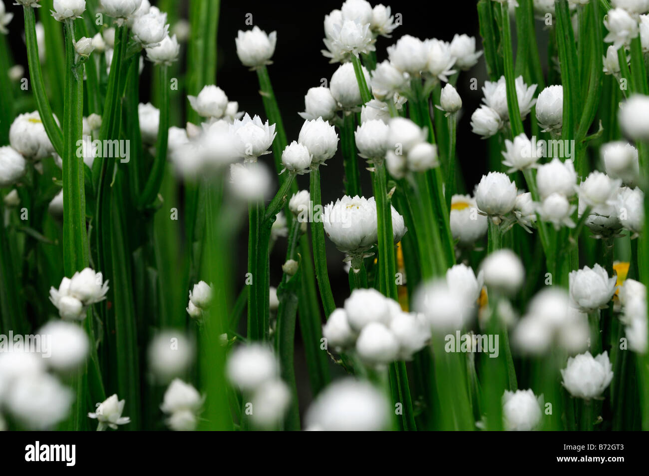 Ammobium Alatum Bikini Winged Everlasting White And Yellow Small