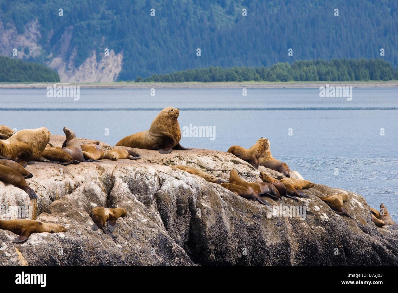 Sea Lions - Glacier Bay National Park, Alaska - Stock Image