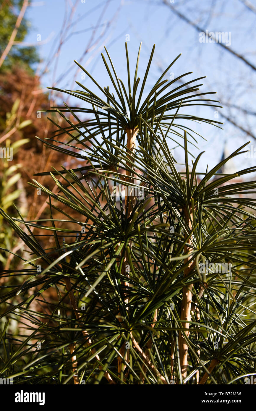 Japanese Umbrella Pine Stock Photo 21572634 Alamy