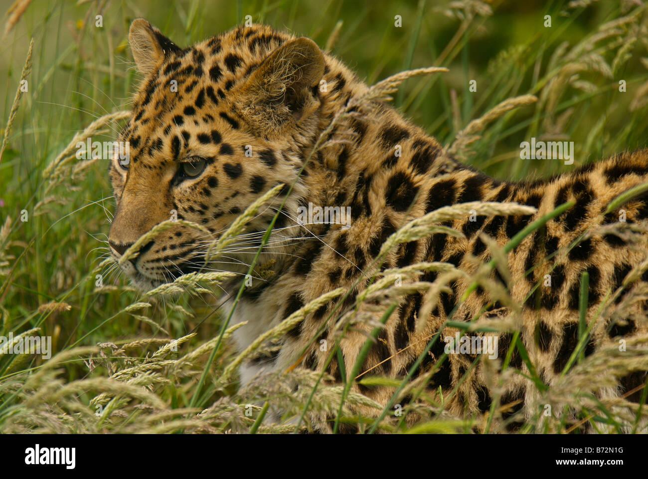 captive subadult Amur leopard [Panthera pardus orientalis] - Stock Image