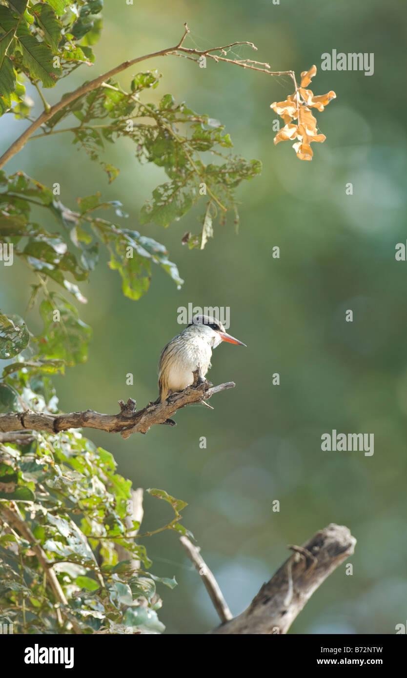 Striped Kingfisher Halcyon chelicuti WILD - Stock Image