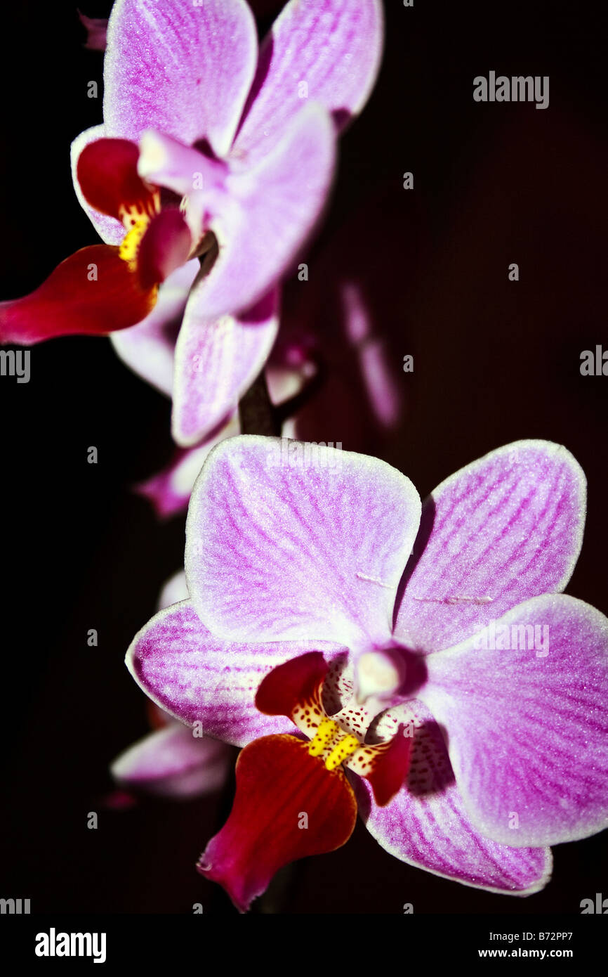 Orchid flowers (Orchidaceae) - Stock Image