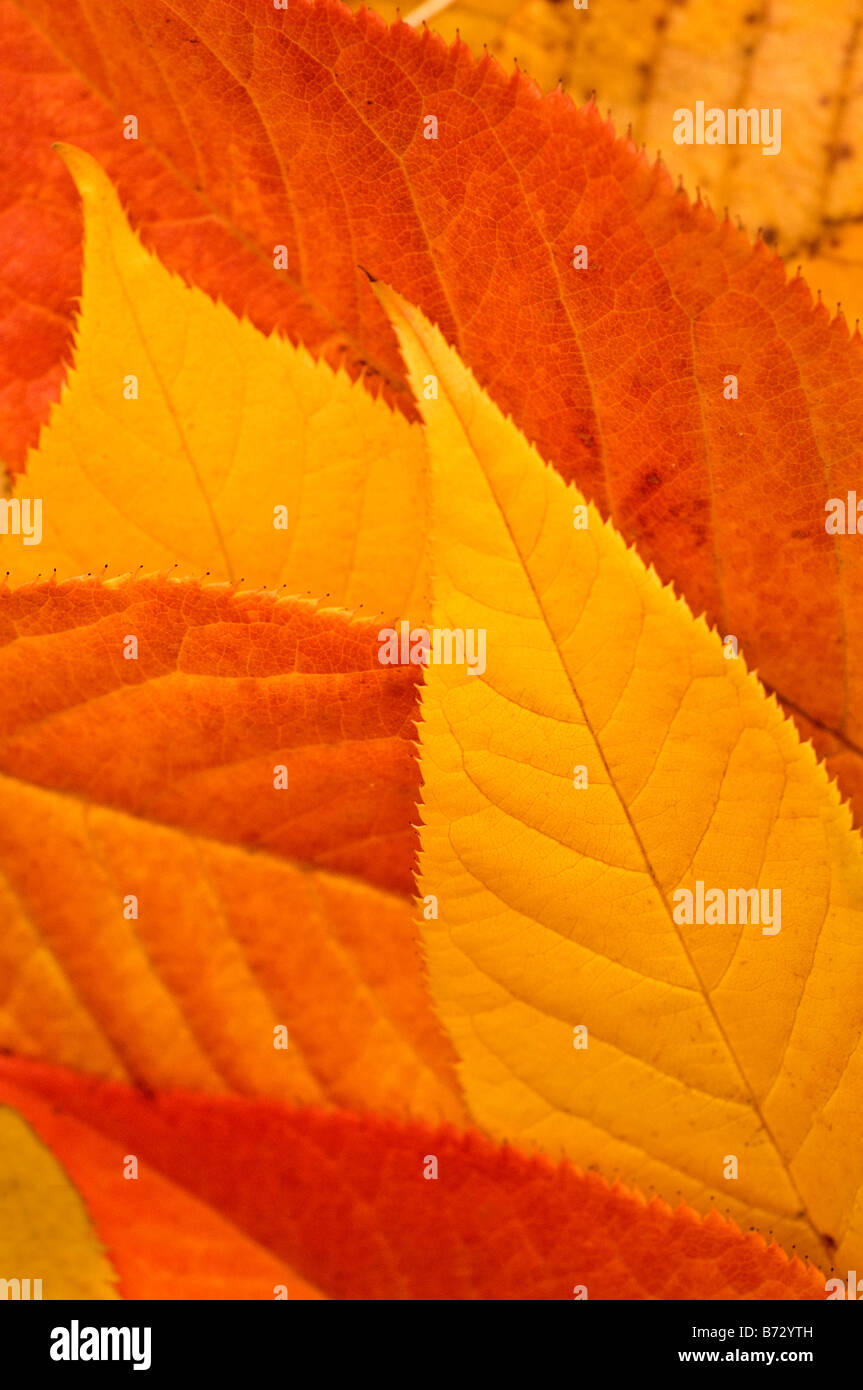 Orange and yellow leaves, closeup, Westport, Ct., USA. - Stock Image