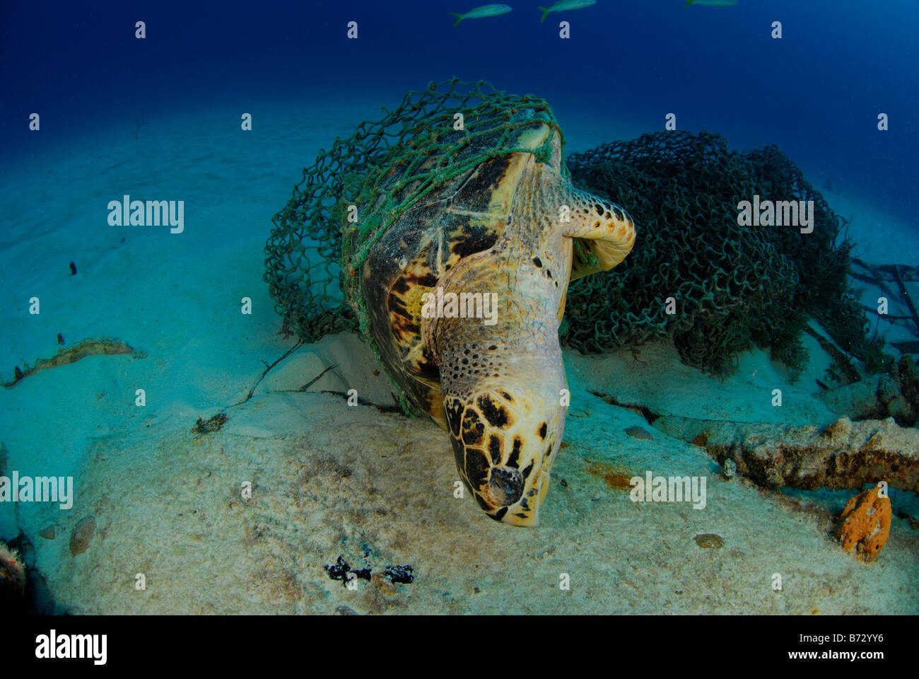 Dead sea turtle trapped in fishing net, underwater, ecological disaster - Stock Image