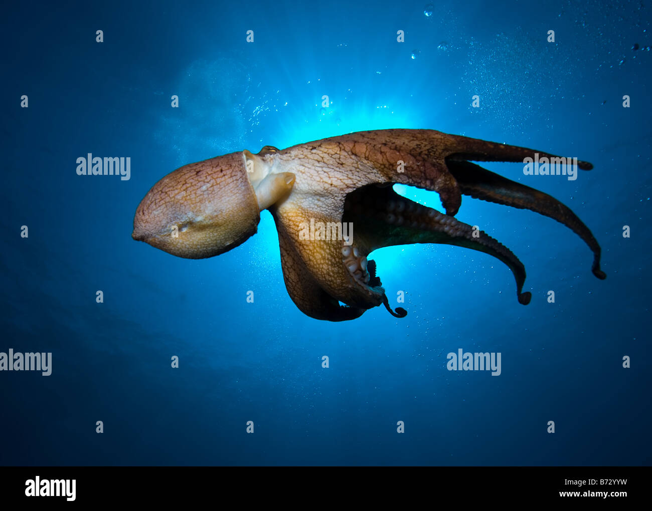 Octopus in Maui, Hawaii, cephalopod, tentacles, camouflage, ink, underwater, ocean, sea, scuba, diving - Stock Image