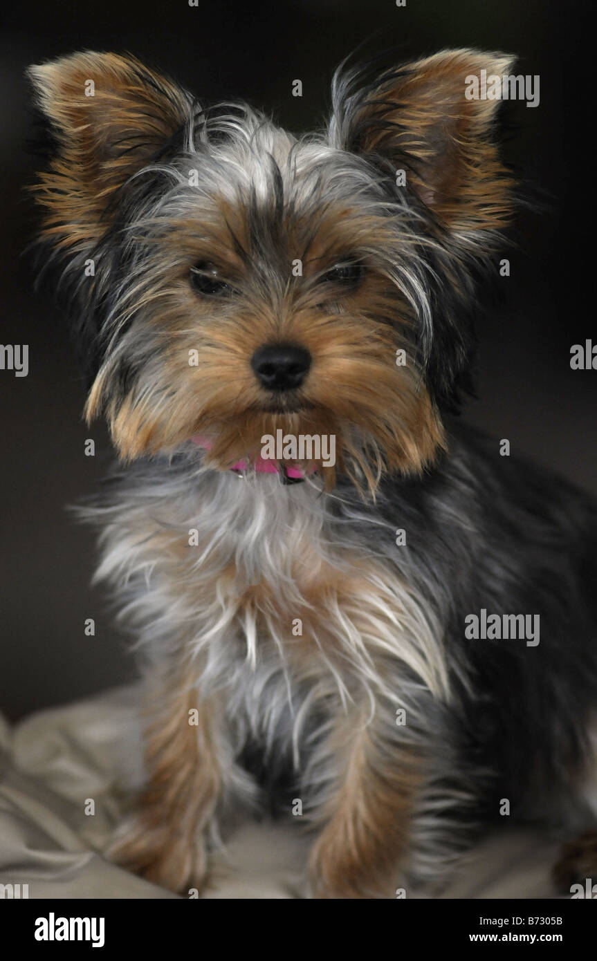 Old Yorkshire Terrier Stock Photos Old Yorkshire Terrier Stock