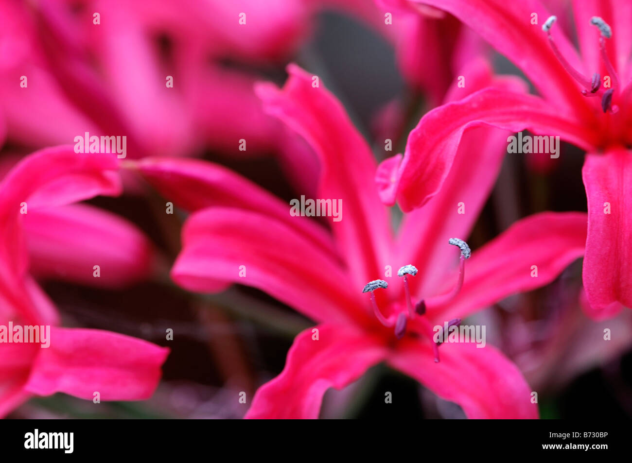 Nerine 'clare pelly' pink closeup close-up detail soft delicate flower bloom blossom wavy crinkle crinkled - Stock Image
