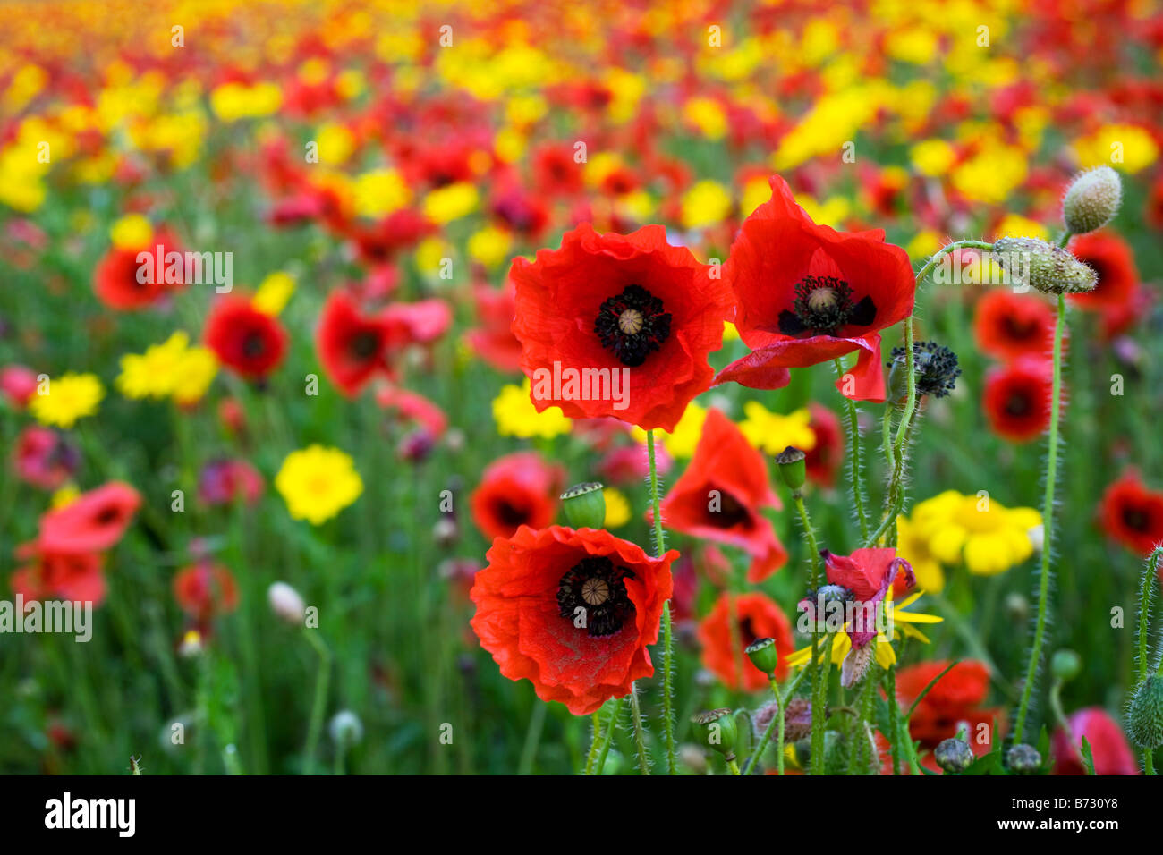 poppies and corn marigolds west pentire cornwall - Stock Image