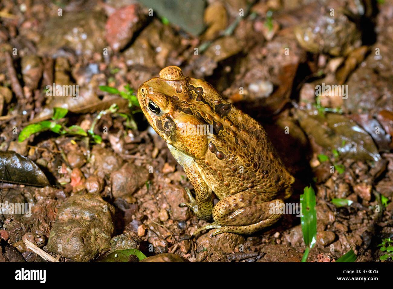Suriname, Brownsweg, Brownsberg National Park. Kind of toad. - Stock Image