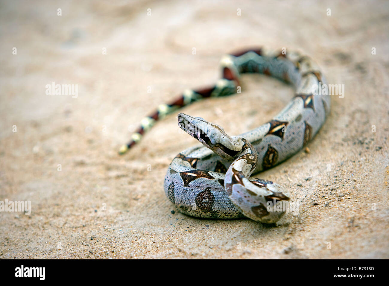 Suriname, Laduani, at the bank of the Boven Suriname river. Boa Constrictor. (Boa constrictor constrictor). - Stock Image
