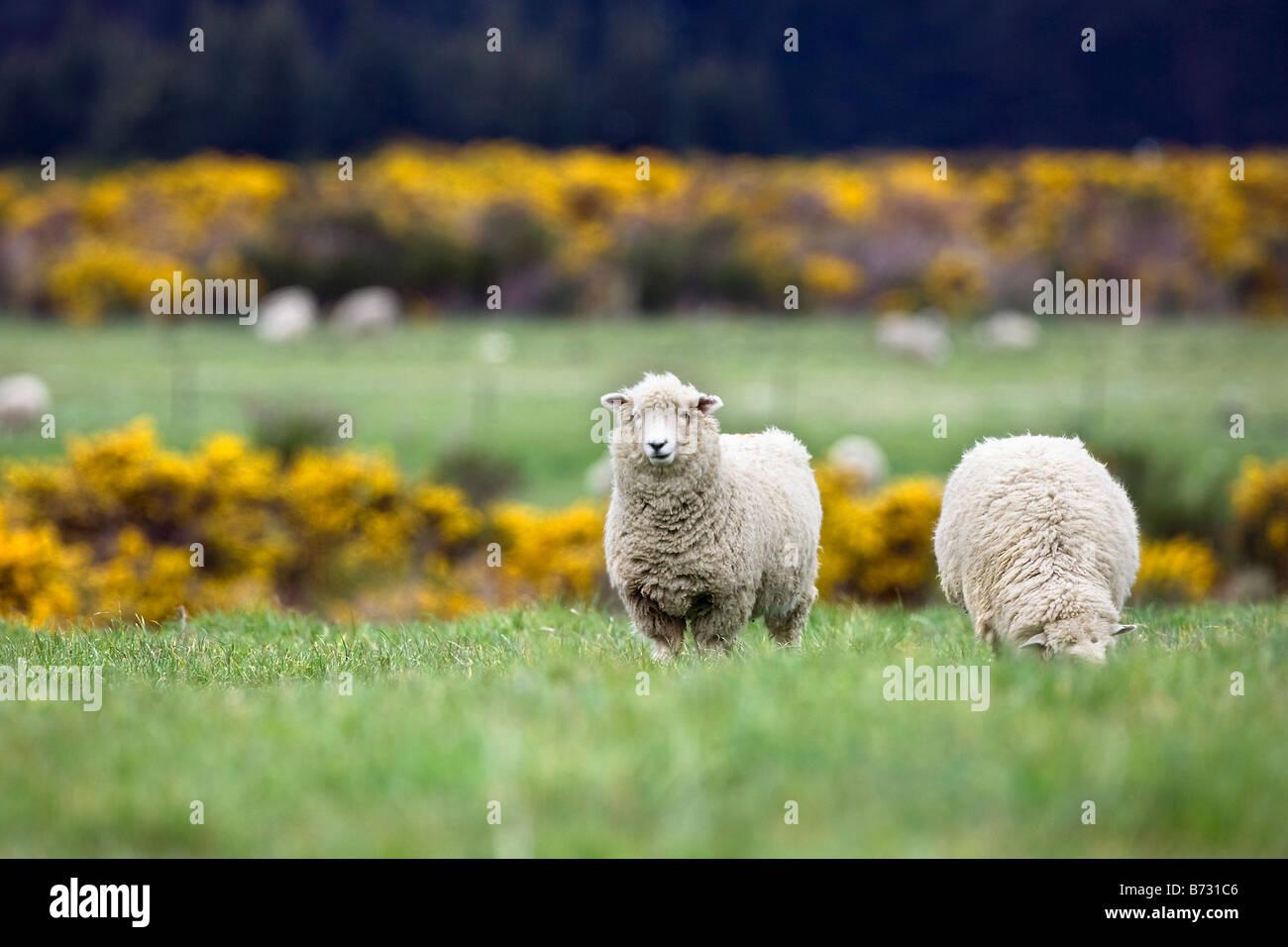 New Zealand, South Island, Kingston near Queenstown. Sheep. Stock Photo