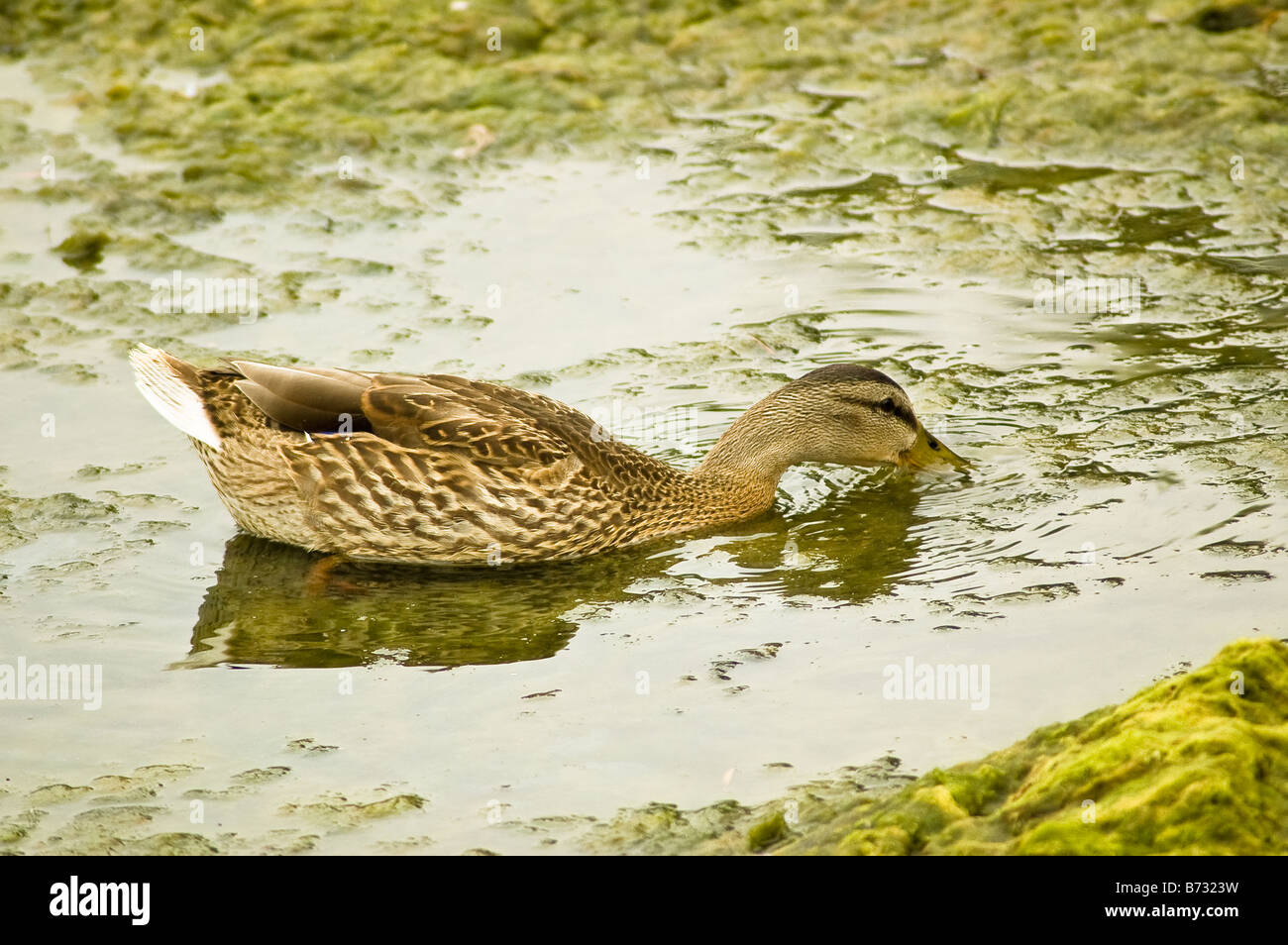 A female mallard duck swimming in a pond in Oakville Ontario - Stock Image