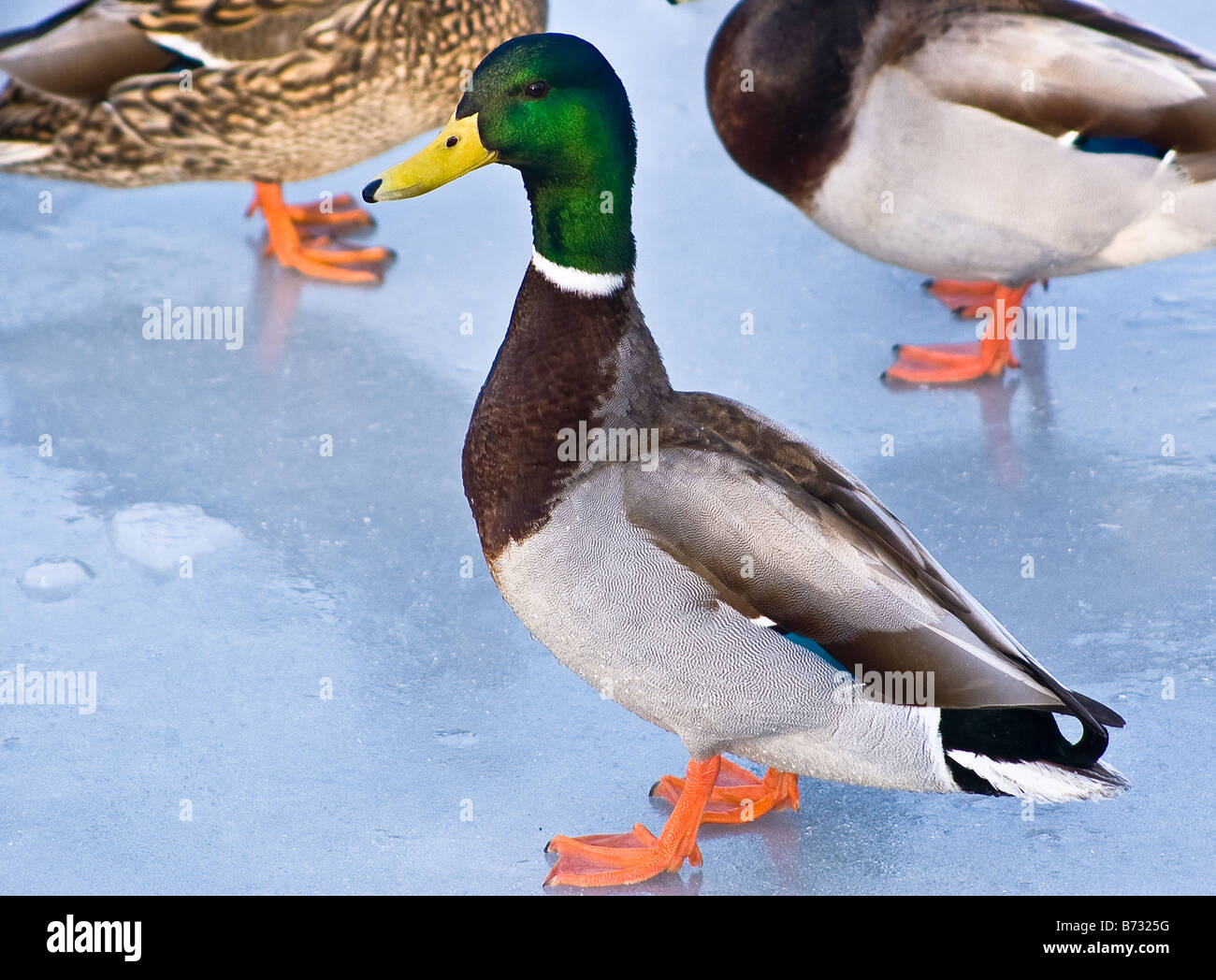 Mallard Duck on frozen inlet off Lake Ontario at Clarkson Mississauga Ontario Canada in the winter of 2005 Stock Photo