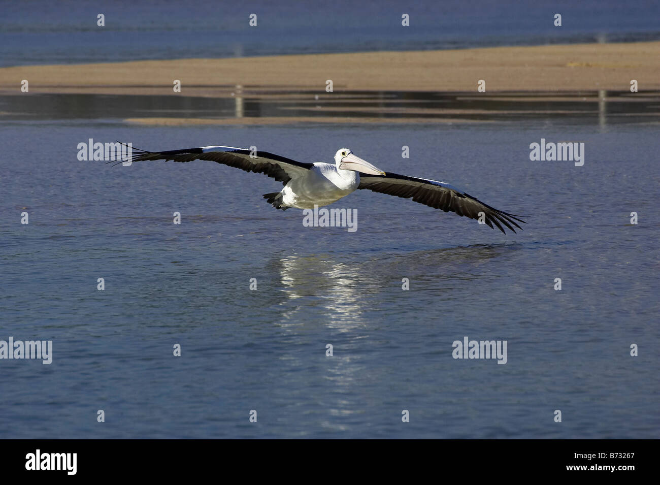 Australian Pelican Pelecanus conspicillatus Flying at The Entrance New South Wales Australia - Stock Image