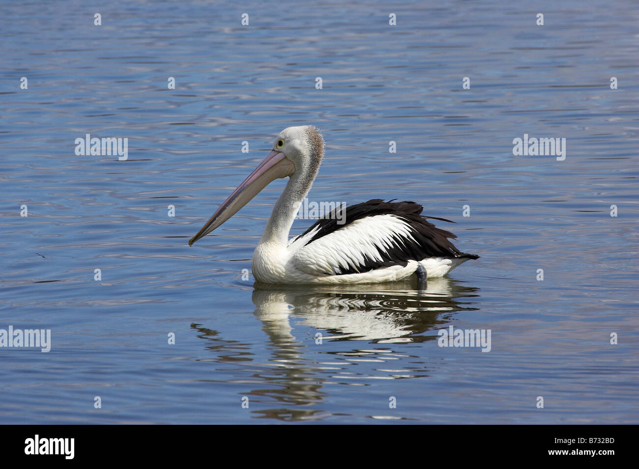 Pelican Nambucca River Macksville New South Wales Australia - Stock Image