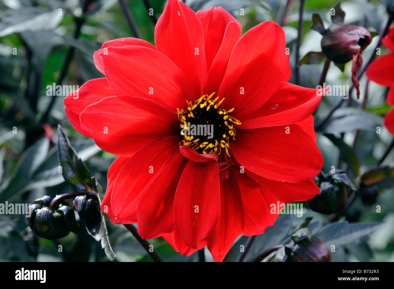 Red Flower Yellow Center Stock Photos Red Flower Yellow Center
