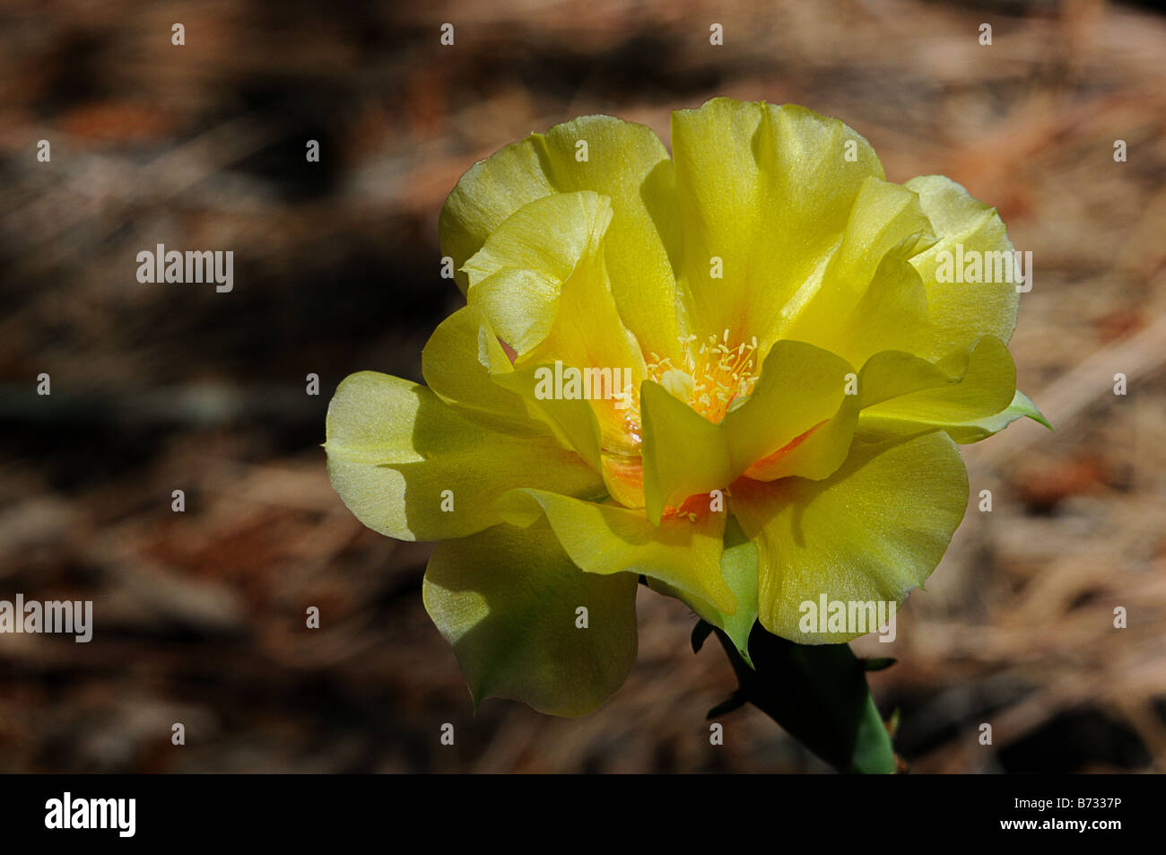 prickly pear cactus flower absorbing the afternoon sun stock photo