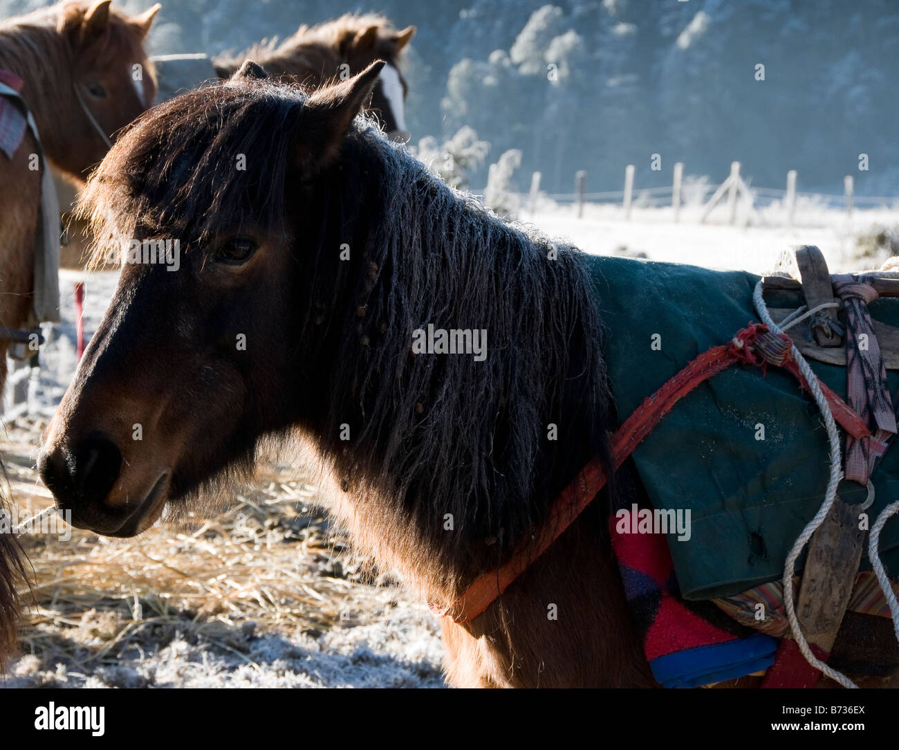 Trekking horse in freezing conditions at sunrise in Bhutan - Stock Image