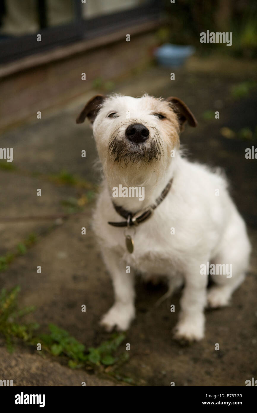 jack russell terrier looking belligerant with a dirty face after digging in the garden - Stock Image