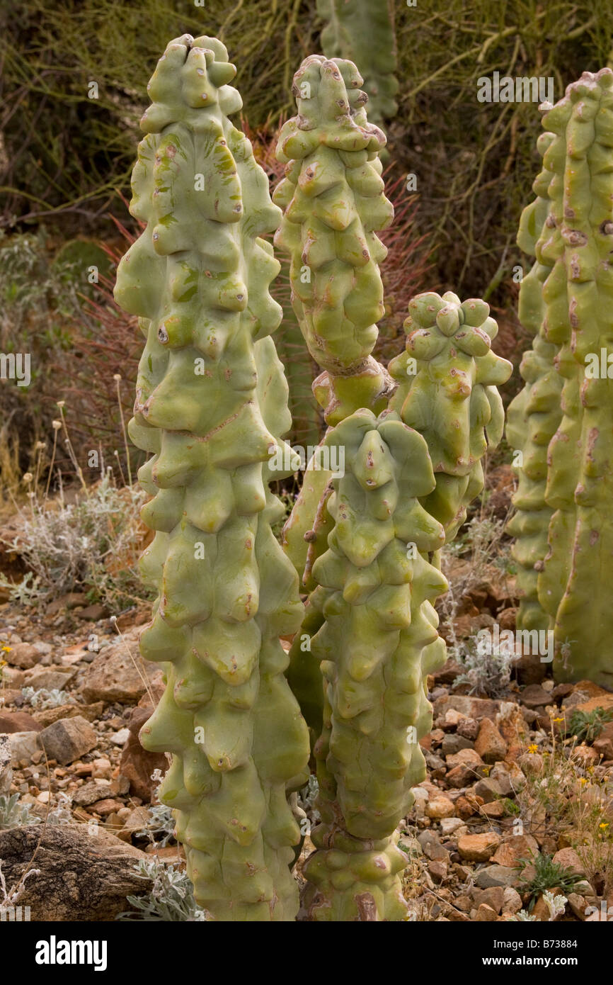 Totem pole cactus lophocereus schottii var monstrosus arizona and mexico