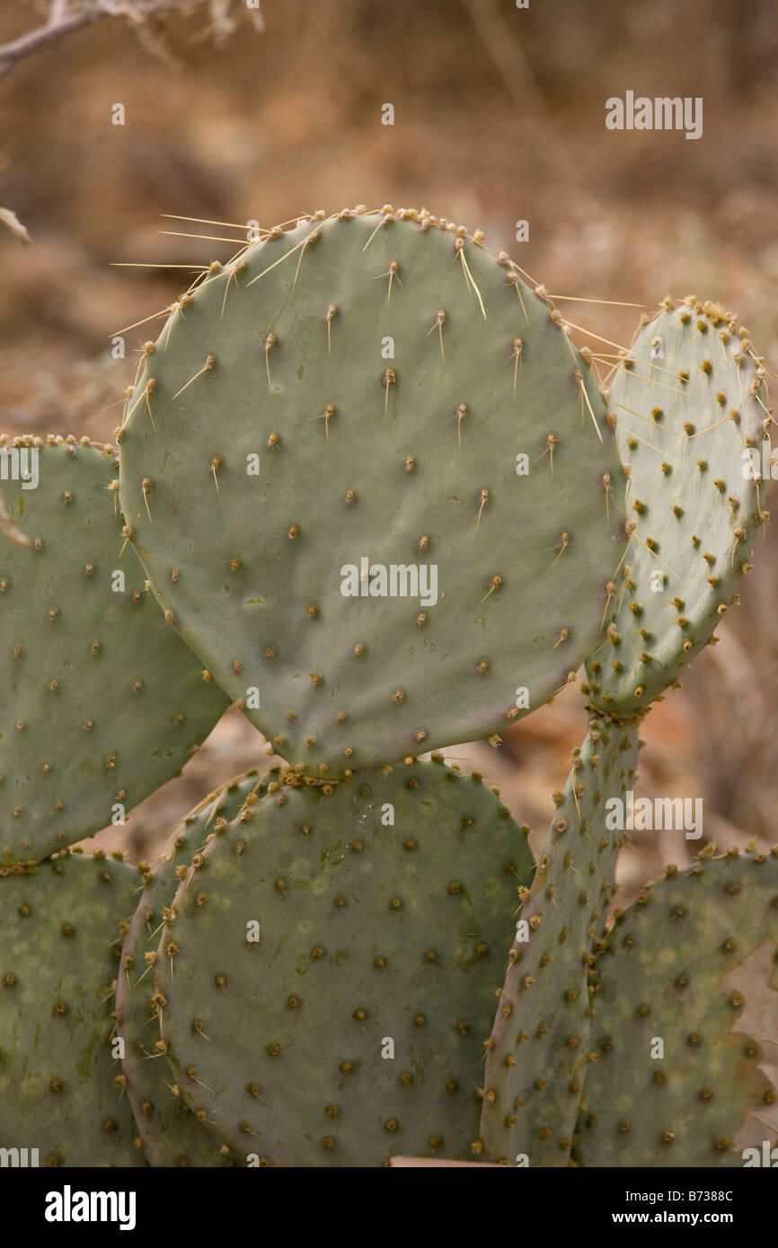 Pancake Pear Opuntia chlorotica Edible form of cactus Sonoran desert Arizona - Stock Image
