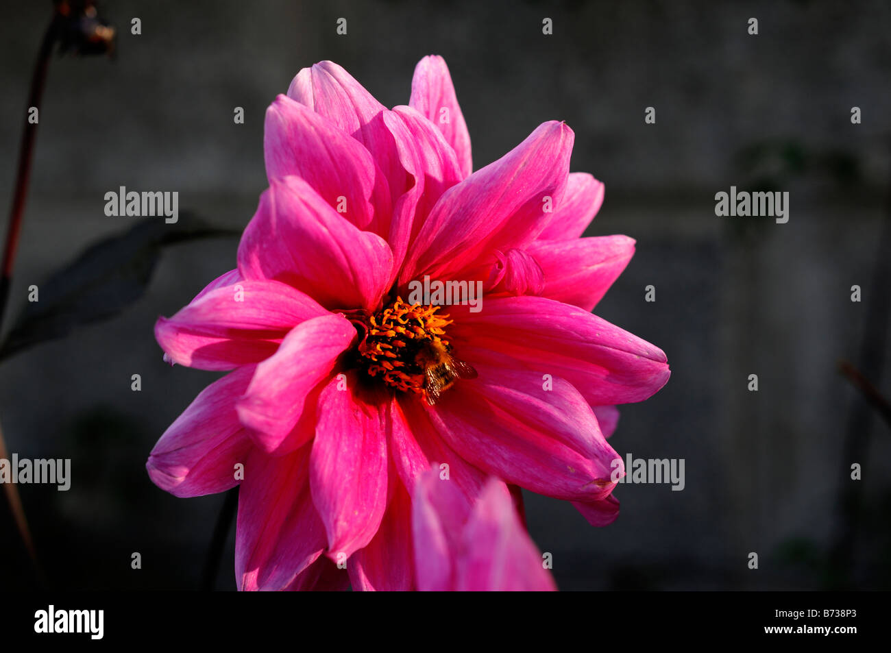 dahlia fascination pink flower - Stock Image
