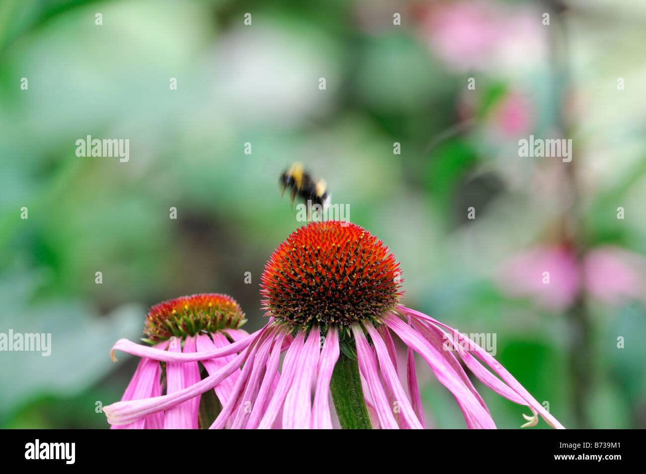 Echinacea pallida Pale Purple Coneflower honey bee feeding feed collect collecting nectar pollinating pollen - Stock Image