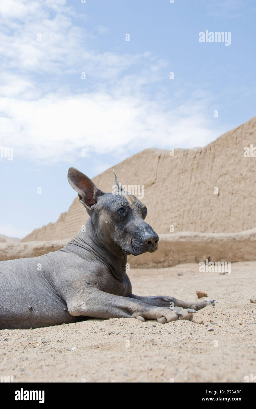 A Peruvian hairless dog relaxes in the desert near the Chan Chan ruins - Stock Image