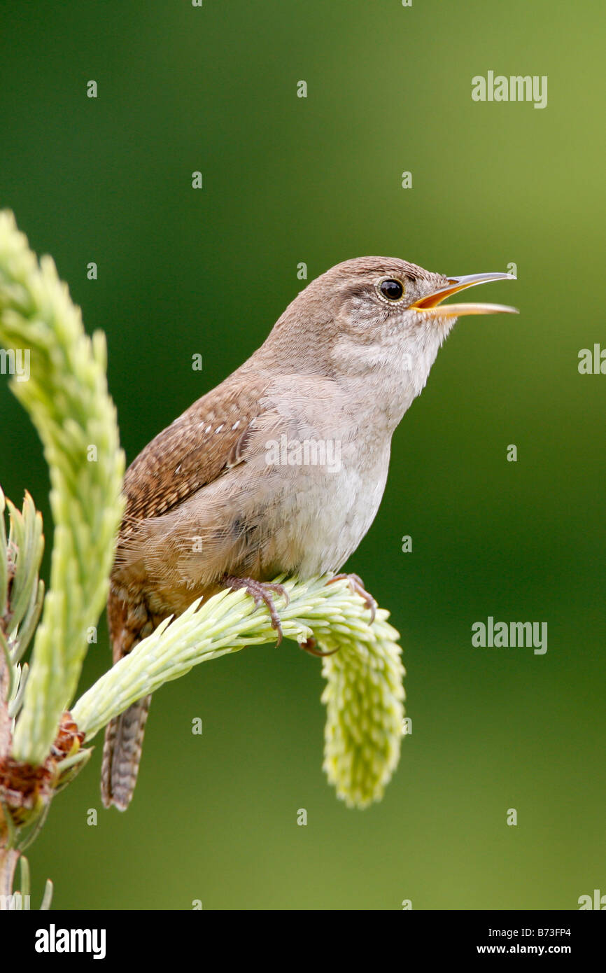 Singing House Wren - Vertical Stock Photo: 21591196 - Alamy