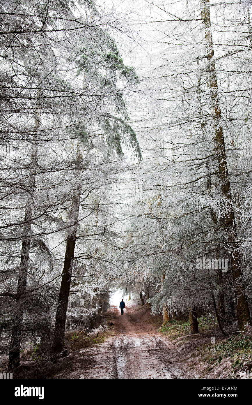 Woman walking on forestry track in winter with trees covered in frost Wales UK - Stock Image