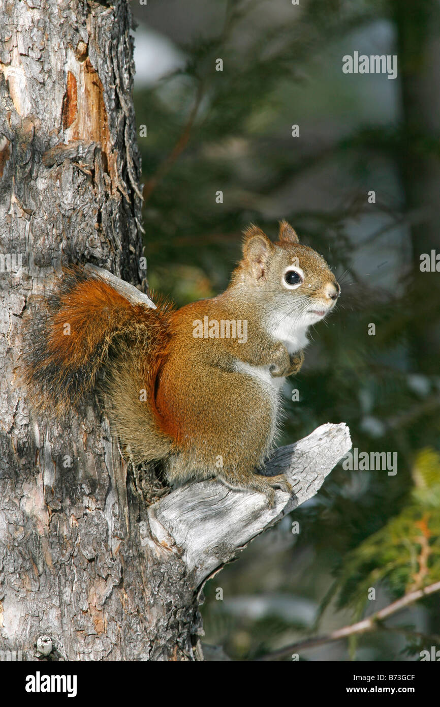 Red Squirrel - Vertical Stock Photo